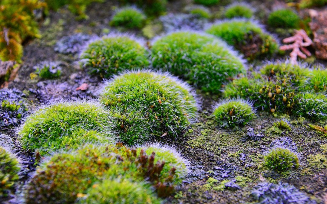 How Moss Removes Arsenic from Water