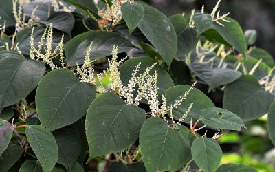 What Are Invasive Plants and Why Are They Bad?