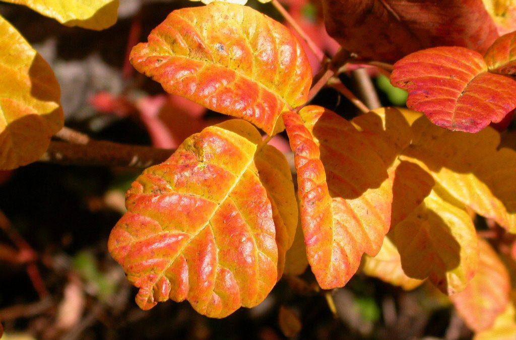 How to Identify, Remove, and Treat Poison Oak
