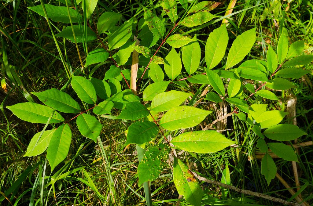 How to Identify, Remove, and Treat Poison Sumac