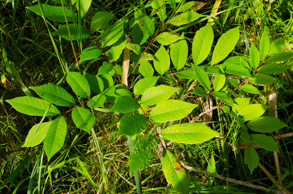 How To Identify Remove And Treat Poison Sumac
