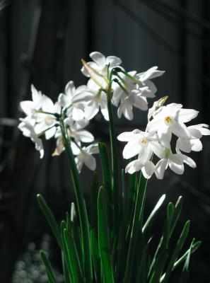 paperwhite flower christmas
