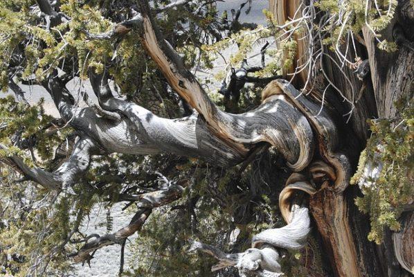 bristlecone pine short tree desert