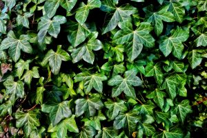 common ivy english