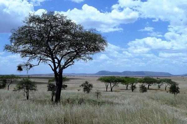 savannah tall tree desert