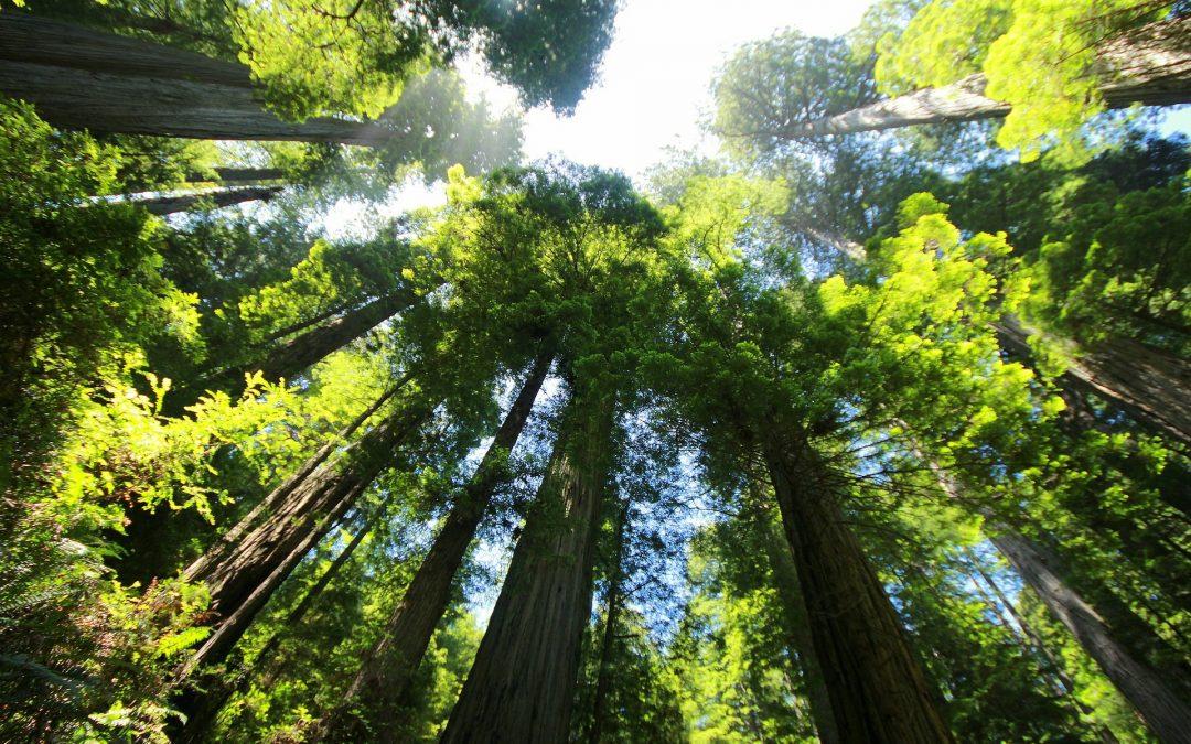 How Do Some Trees Get So Big?
