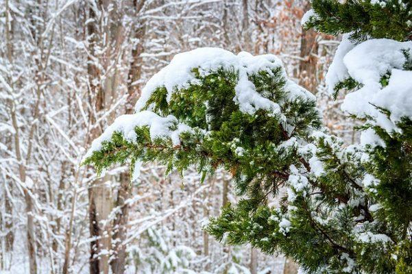 cedar tree winter christmas holidays