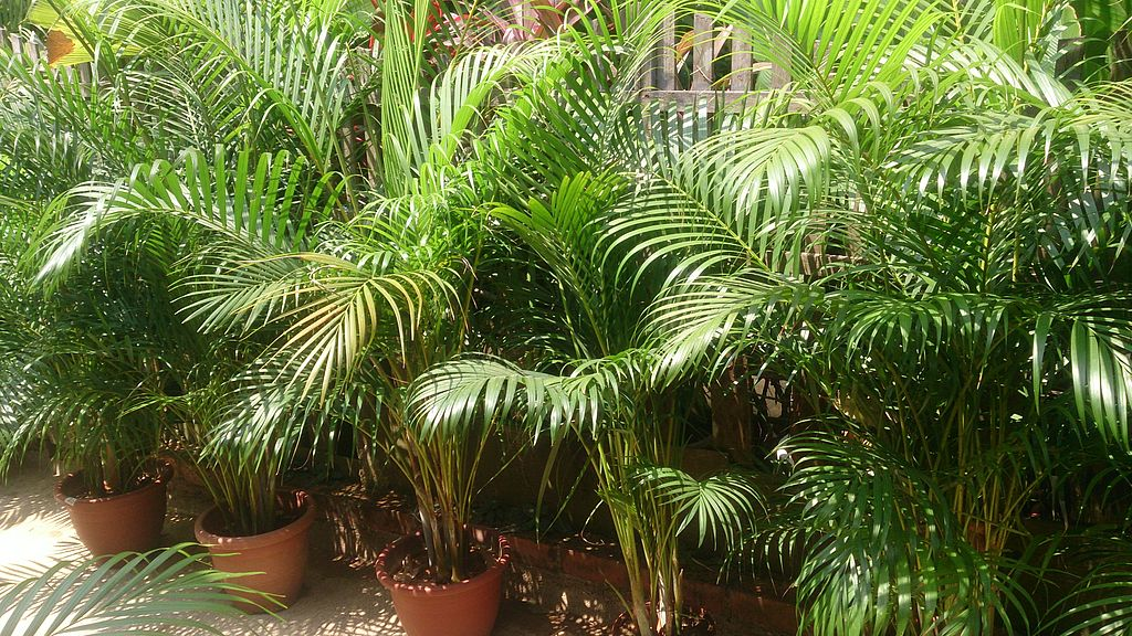 Areca palm plants in pots