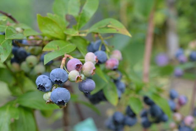 blueberries aquaponics hydroponics aquaculture