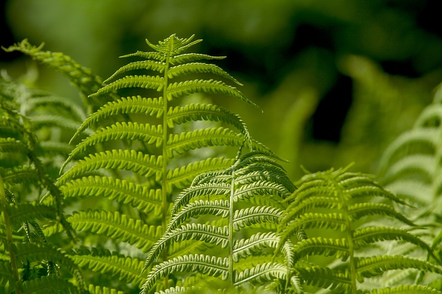 ferns treat dandruff