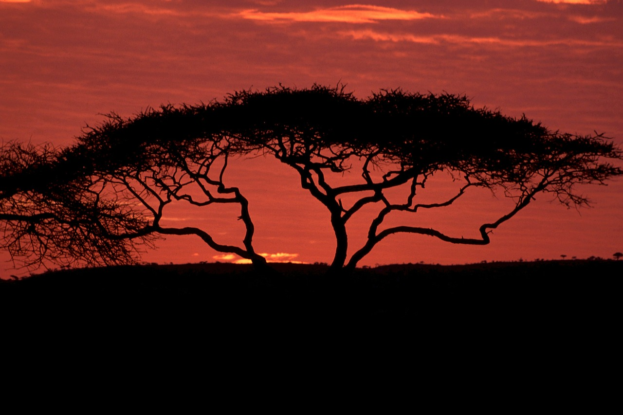 Silhouette of an acacia tree with a sunset as a backdrop.