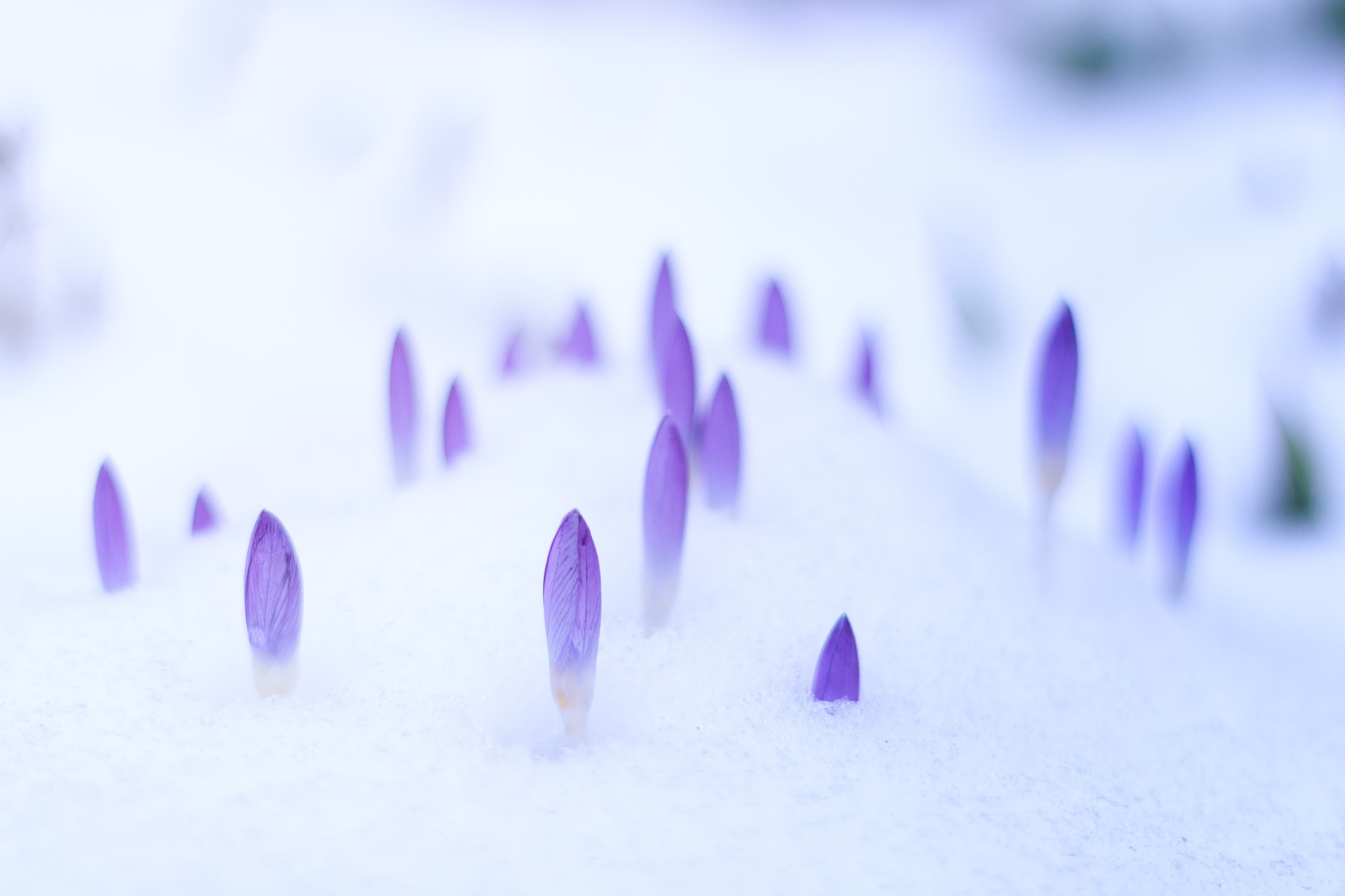 winter snow crocus flowers