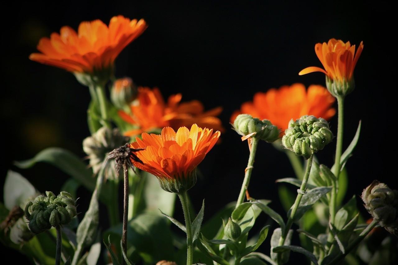 Calendula flowers orange