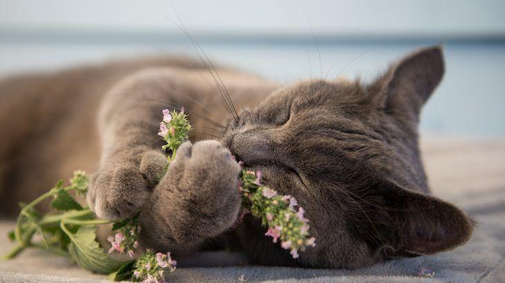 catnip cancer cat