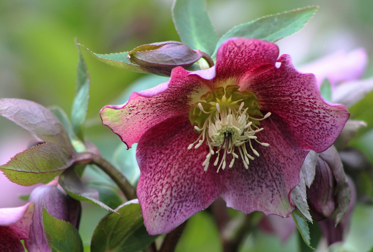 Hellebore orientalis flower