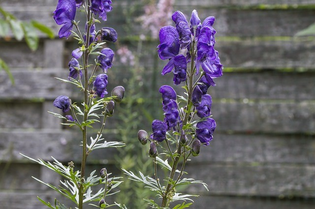monkshood wolfsbane deadly plant