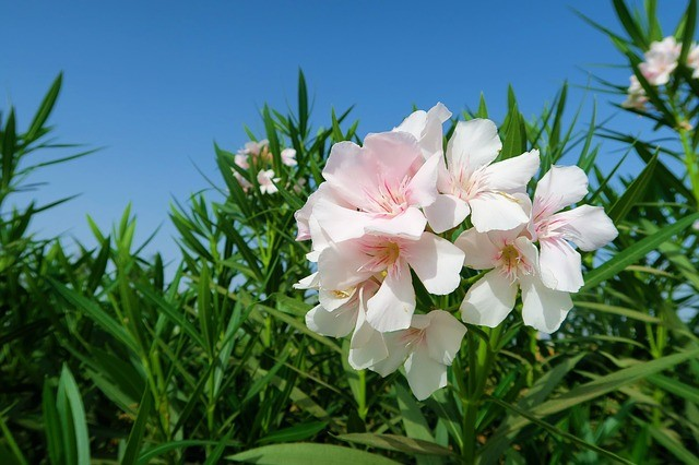 white oleander deadly plant