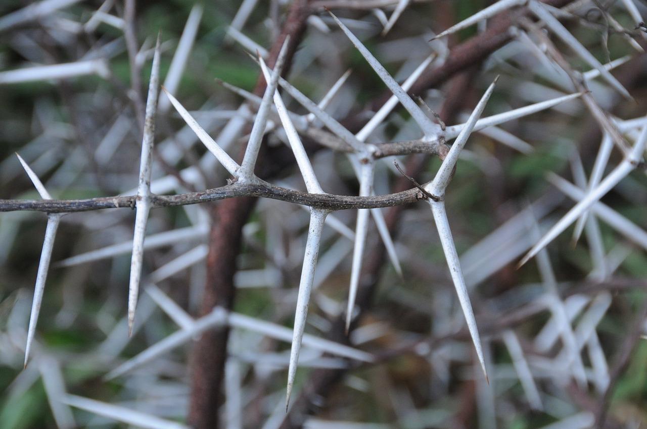 Acacia Thorns