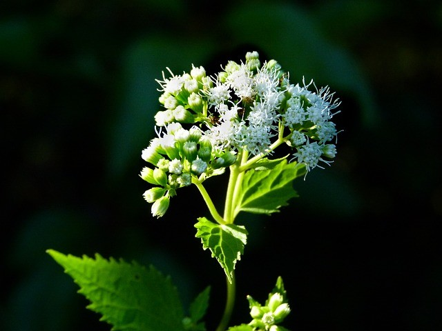 white snakeroot deadly plant