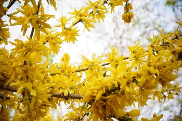 Winter jasmine yellow flowers