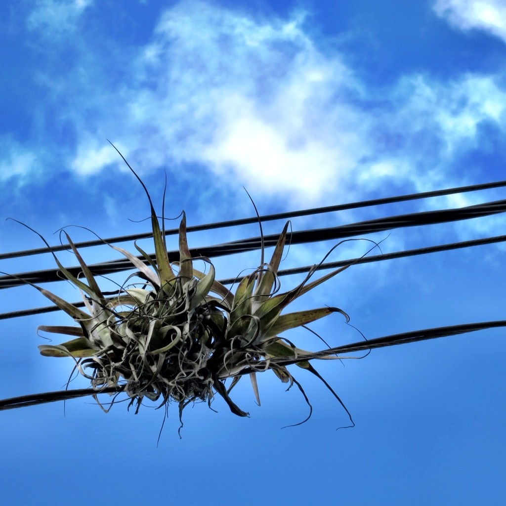 What Is That Plant Growing On Power Lines?