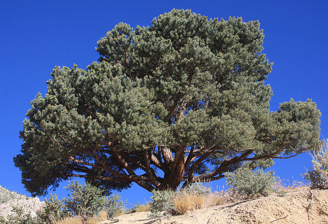 Pinyon Pine on a ridge with sky in the background
