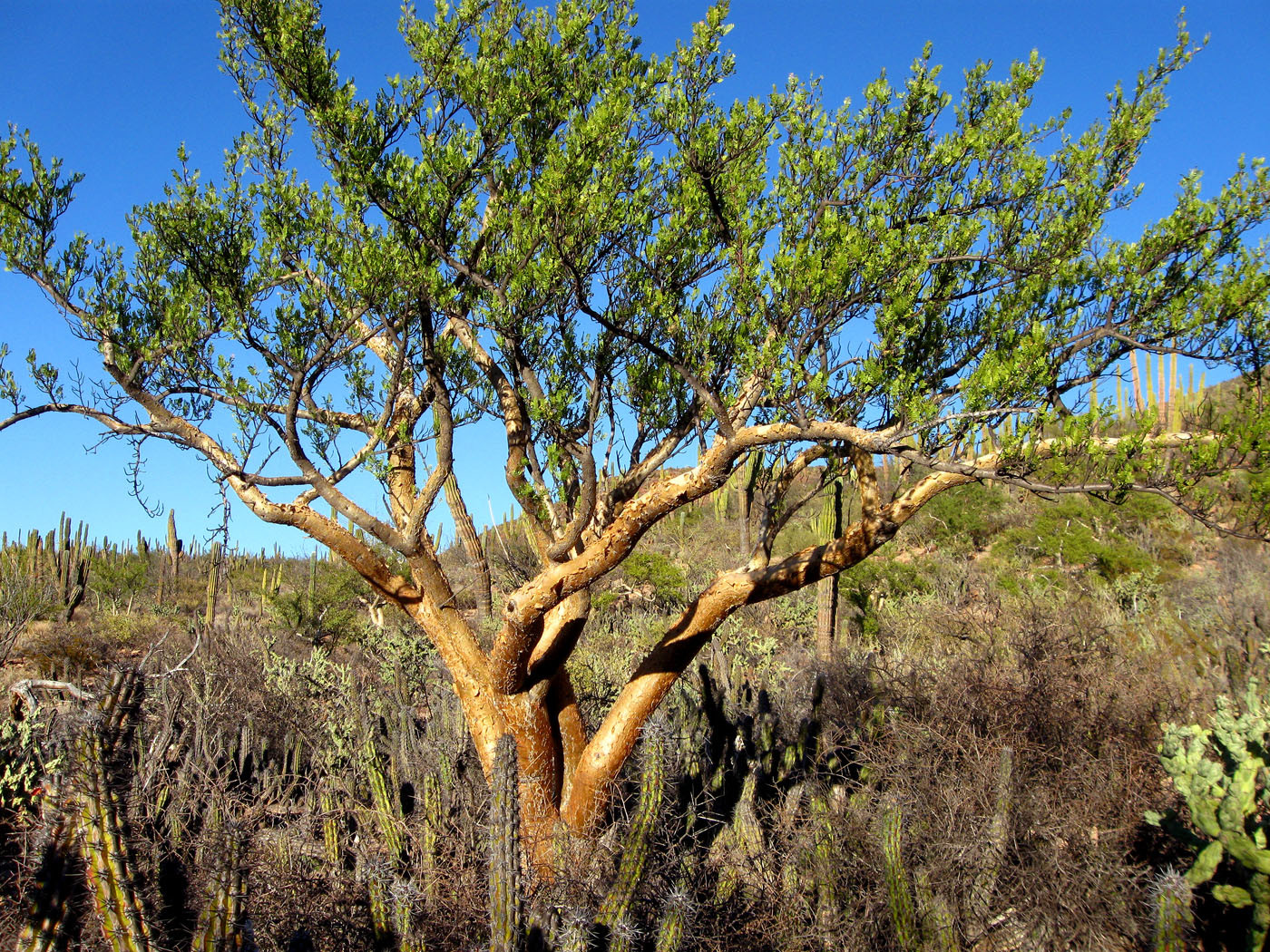 Weird Plants of Baja California