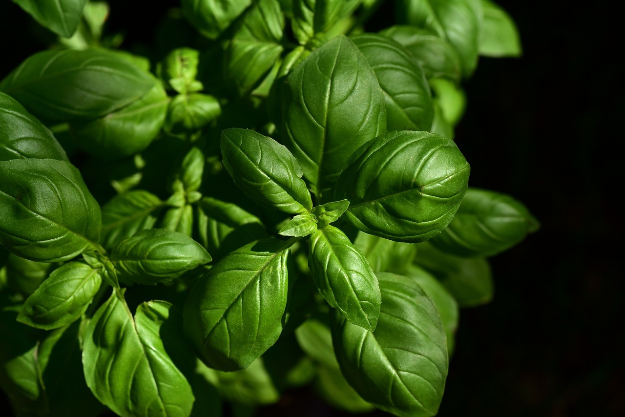 Basil plant on a black background.