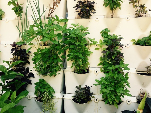 Various herbs growing in a wall of pots