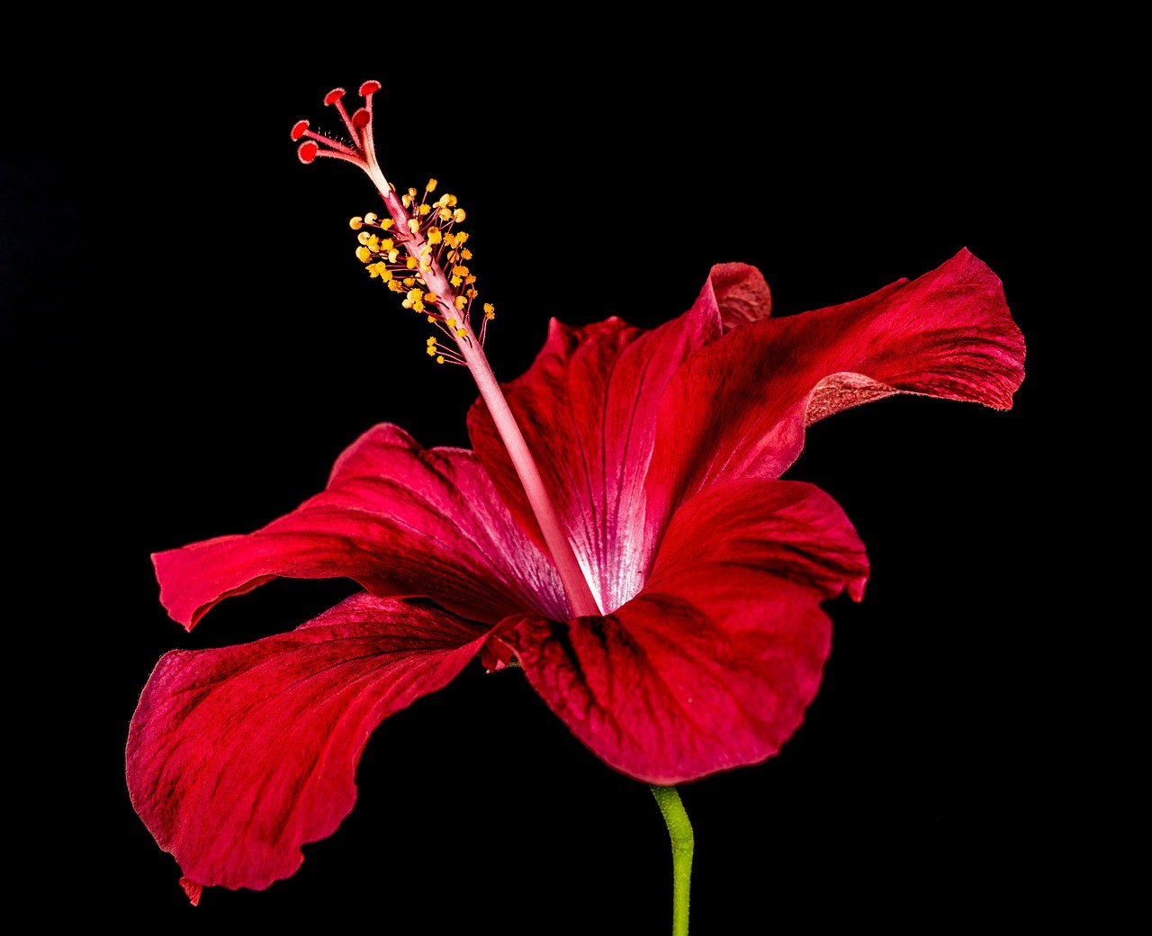 Whats So Special About The Hibiscus Flower Plantsnap