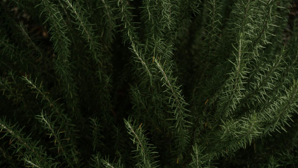 Mosquito Repellent Plants For Your Garden and Skin