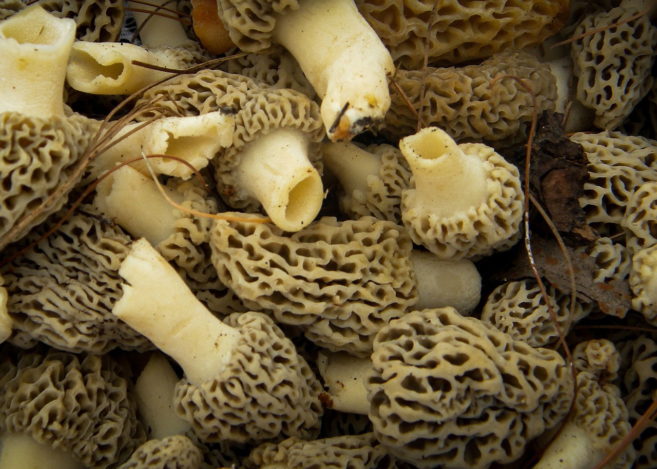 morel edible mushrooms