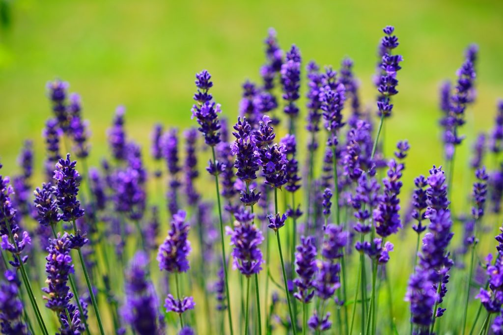 Top 5 Lavender Plant Uses