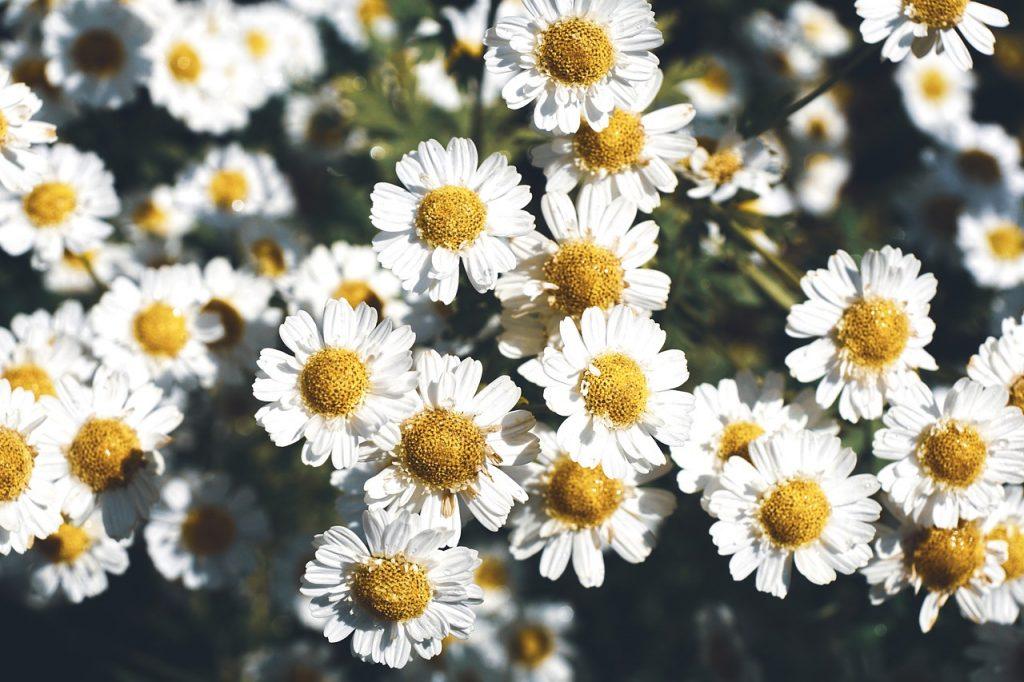 feverfew healing herb