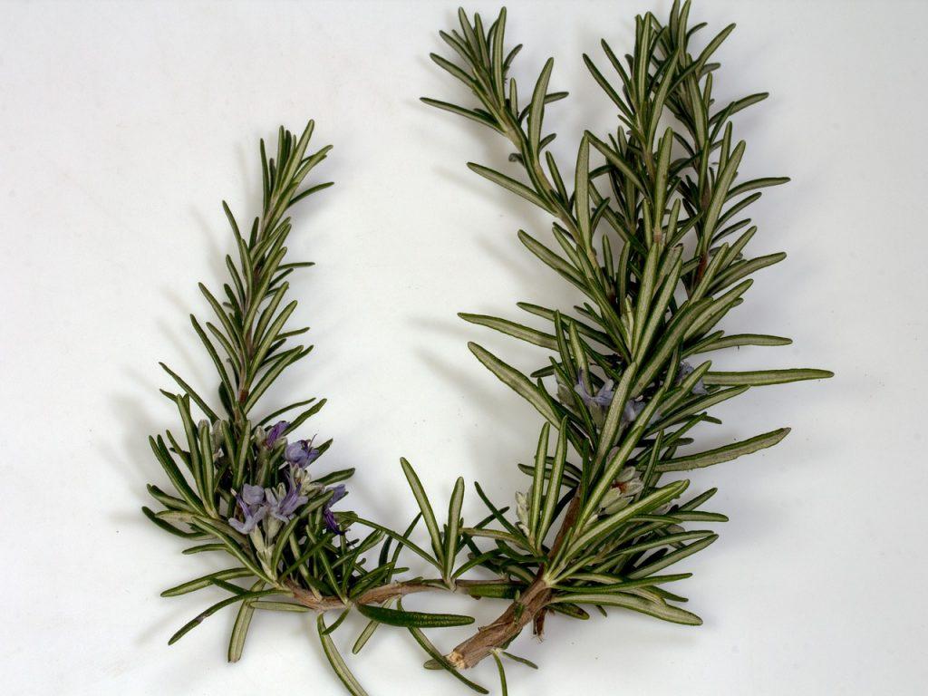 rosemary healing herb