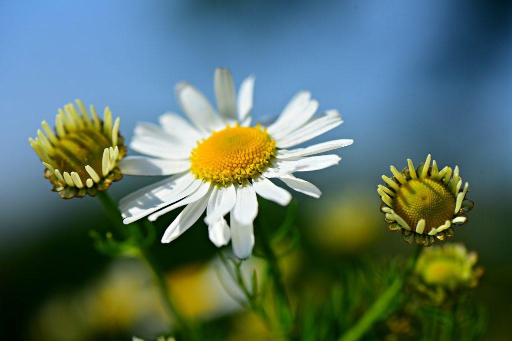 chamomile healing herb