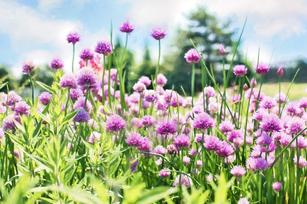 chives healing herb