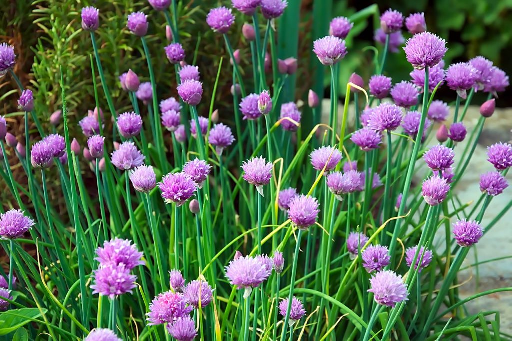 chives foraging