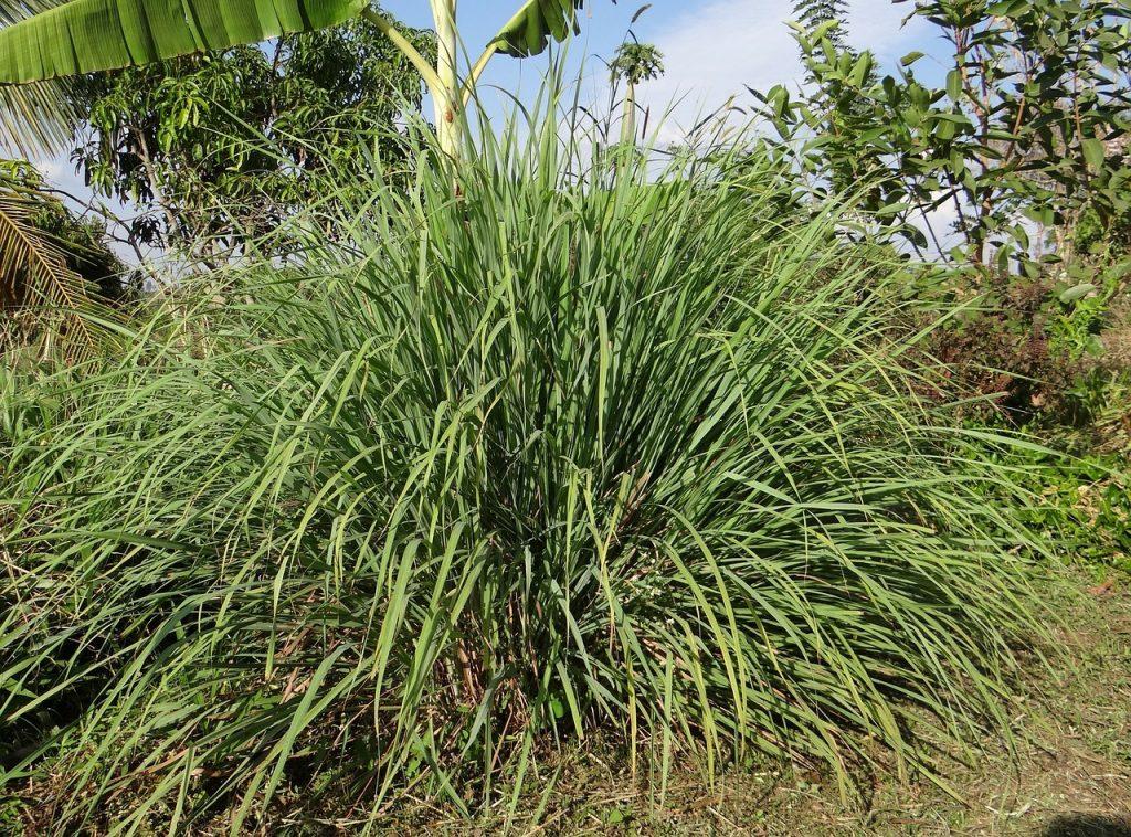 lemongrass healing herb