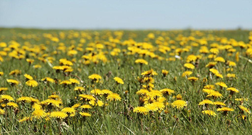 dandelion foraging