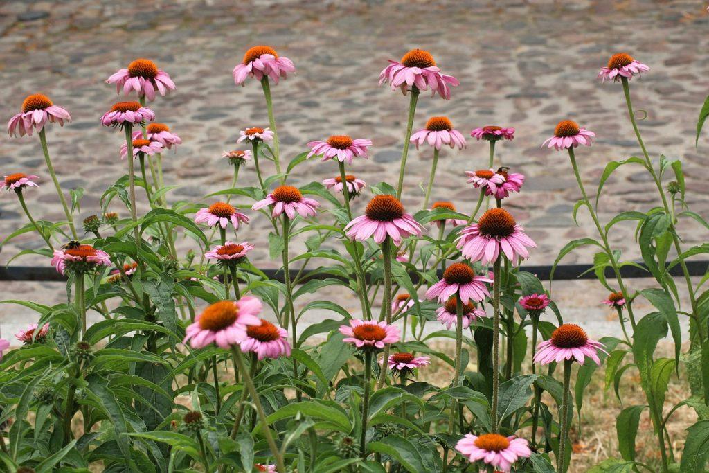 echinacea, medicinal herbs