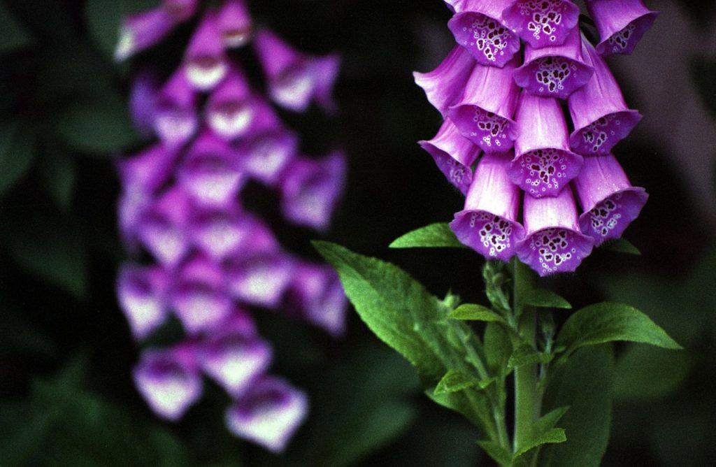 foxglove, medicinal herbs
