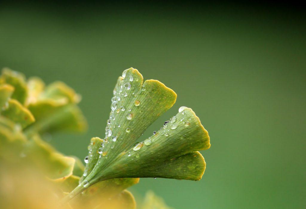 gingko leaf healing herb