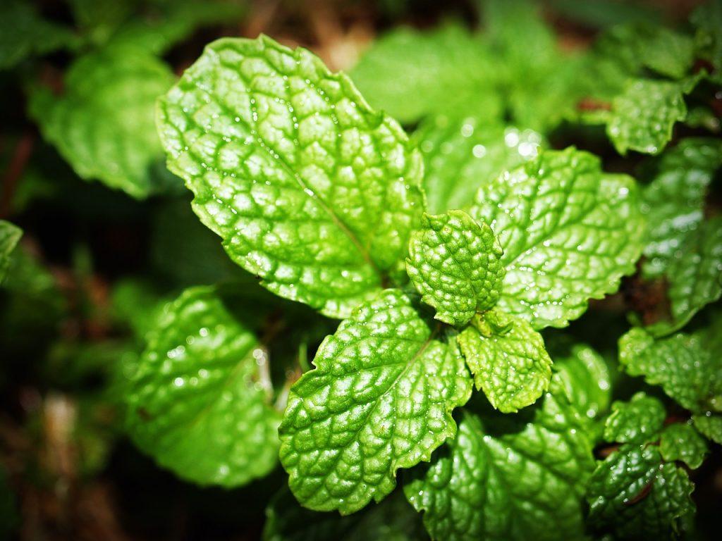 mint healing herb
