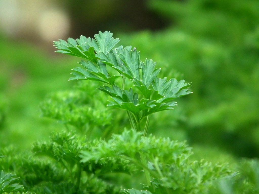 parsley healing herb