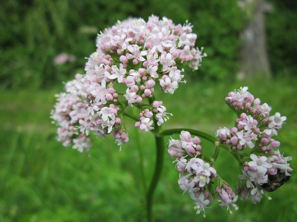 valeriana healing herb