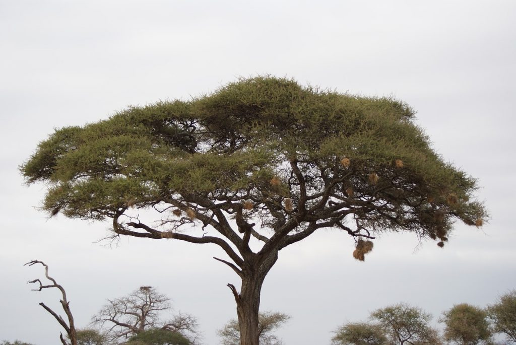 cool savanna plants, acacia tree