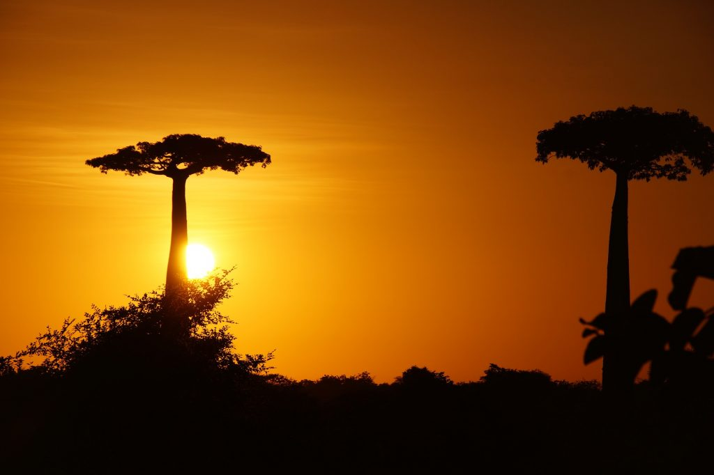 cool savanna plants, baobab