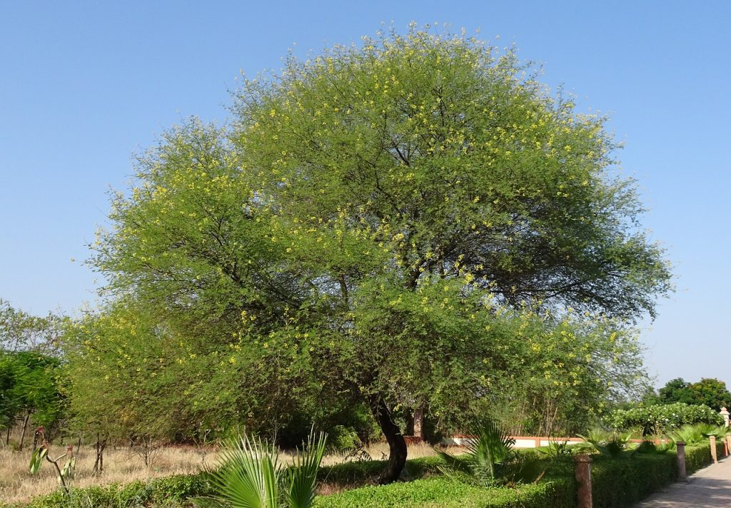 cool savanna plants, gum arabic tree