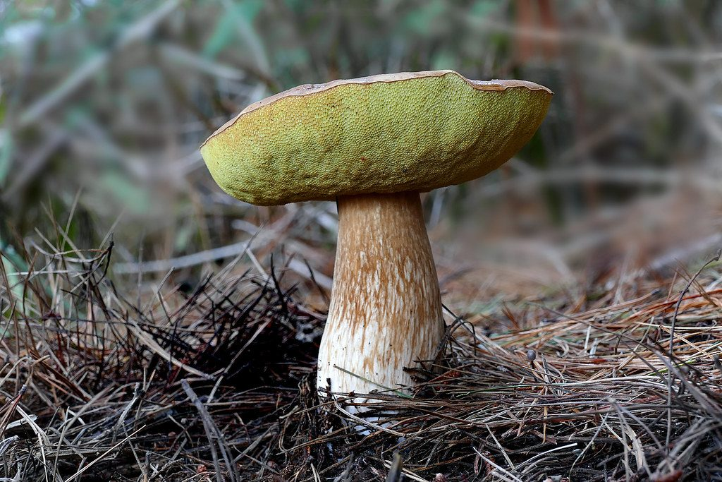 gourmet mushrooms, bolete